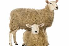 Vergeten vlees: waarom eten we geen schaap meer?