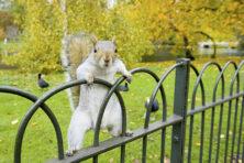 Strijd tussen eekhoorns eindigt op barbecue