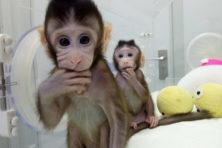 Eerst Dolly, nu gekloonde apen: waar eindigt dit?