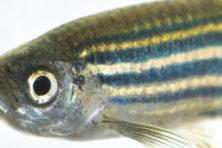 Een wetenschappelijke wondervis voor 50 cent