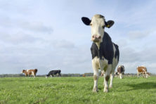 Moet zelfs de koe wijken voor het klimaat?