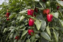 Domme EU jaagt innovatieve agribusiness weg