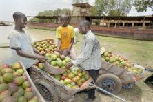 Door mango's floreert de economie in Mali