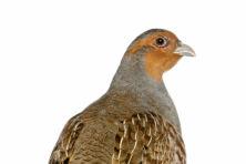 Boer profiteert van reddingsplan voor patrijsvogel