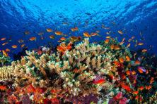 Ook op het koraalrif is sprake van marktwerking