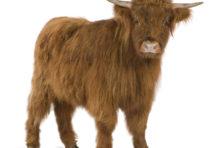 Schotse hooglander van natuurslager de Woeste Grond
