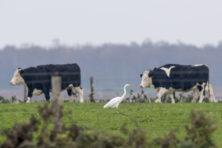 Zilverreiger: witte gestalte in de delta