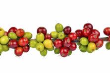 Klimaatverandering kan leiden tot een 'koffiecrisis'