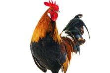 Pleidooi voor het vlees van mannetjesdieren