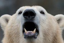 Groen taboe: het ijs smelt maar de ijsbeer floreert