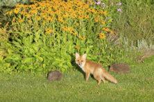 Volgens Isaiah Berlin was een intellectueel een egel of vos
