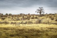 Hart voor de beesten in Botswana