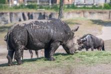 Knullig einde van neushoorn in Emmen is van grote treurigheid